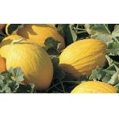 Gelbe Kanarische aus Sizilien (honigmelone)