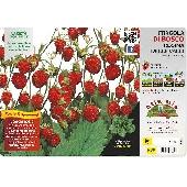 Walderdbeerpflanze - Orto MIo