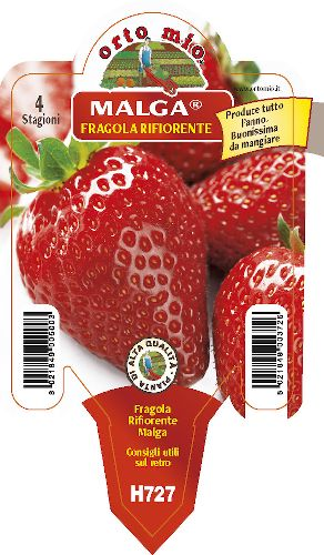 Wiederbl�hende Erdbeere. 4 Jahreszeiten - medio-precoce Malga - Orto Mio