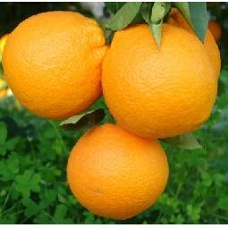 Orangen  Ribera  (Arance di Ribera Washington) Fioroni