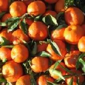 Sizilianische Ribera Clementinen/Mandarinen - Az. Agricola Guarragi