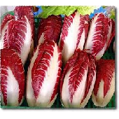 Roter radicchio aus Treviso (fr�hen)