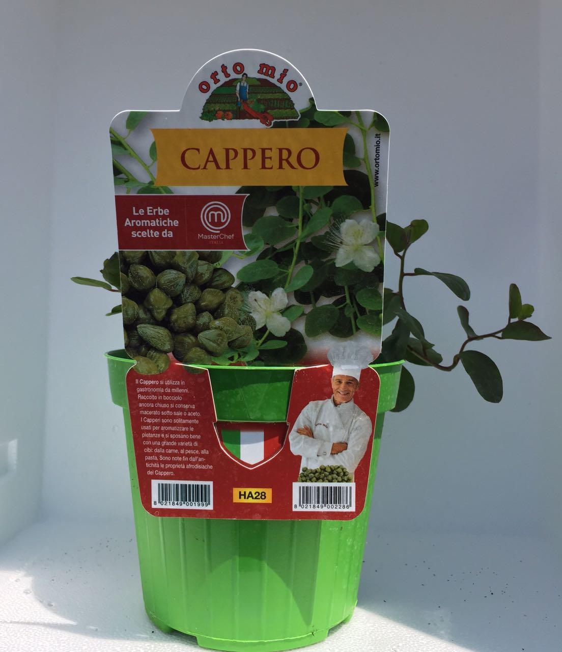 Kaper  -  Pfl�nzhcen in einer 14cm- Vase  -  Orto mio