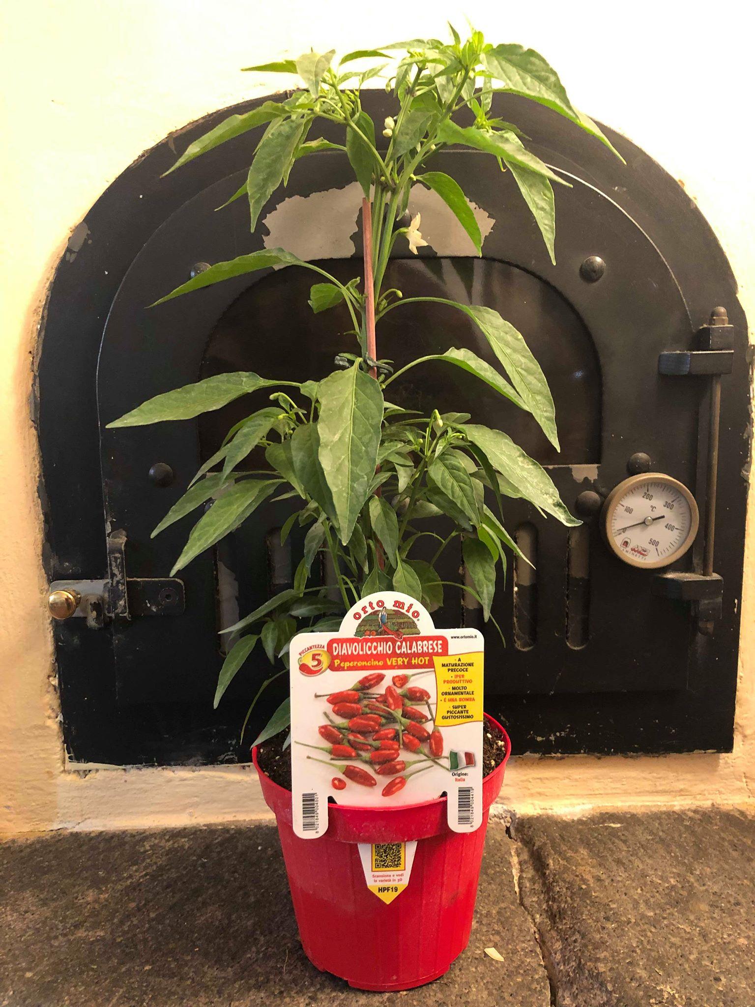 Hot Pepper Calabrese diavolicchio Italico Pot Plant - Orto mio
