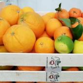 Kostprobe von Cassata mit Sizilianischen Zitrusfrucheten aus Ribera - Azienda Agr. Guaraggi 6 kg. Saftorangen 6 Kg. Orangen Fioroni Washington 3 kg. Klementinen 2 kg. Nat�rliche Zitronen